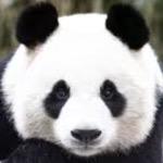 Cringy Panda