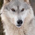 Got EM (Wolf)