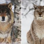 Lynxand_wolf