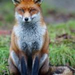 Skylar Fox (prince fox)