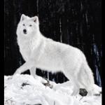 Snowy(wolf)