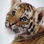 Tiger200
