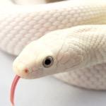 White Snake (Devin)